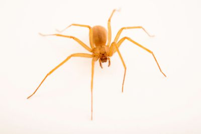 Photo: Arizona brown spider (Loxosceles arizonica) at the Arizona-Sonora Desert Museum.