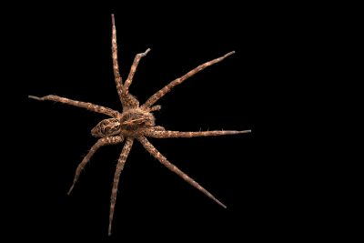 Photo: A female striped fishing spider (Dolomedes scriptus) from the University of Nebraska-Lincoln.