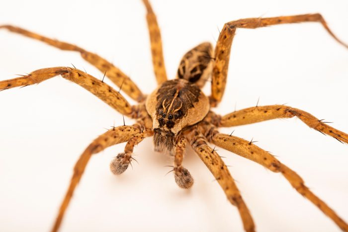 Photo: A male striped fishing spider (Dolomedes scriptus) at the University of Nebraska-Lincoln.