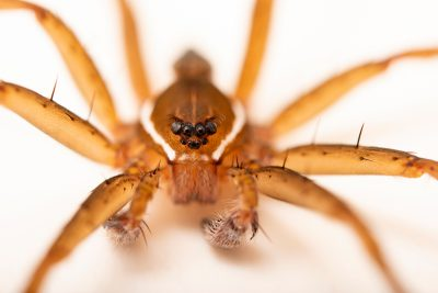 Photo: A male six spotted fishing spider (Dolomedes triton) from the University of Nebraska-Lincoln.
