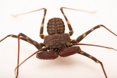 Photo: A female tailless whipscorpion (Phrynus pseudoparvulus) from the University of Nebraska-Lincoln.