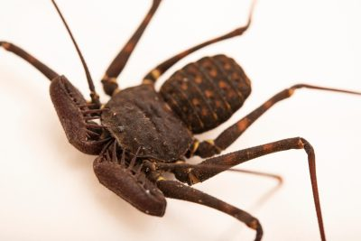 Photo: A male tailless whipscorpion (Phrynus pseudoparvulus) from the University of Nebraska-Lincoln.