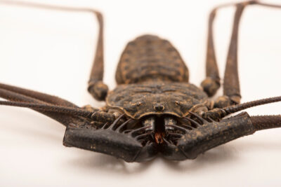 Photo: A male tailless whipscorpion (Paraphrynus laevifrons) from the University of Nebraska-Lincoln.