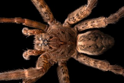 Photo: A female dark fishing spider (Dolomedes tenebrosus) from the University of Nebraska-Lincoln.