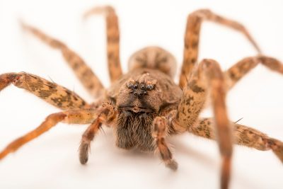 Photo: A female dark fishing spider (Dolomedes tenebrosus) from the University of Nebraska-Lincoln.