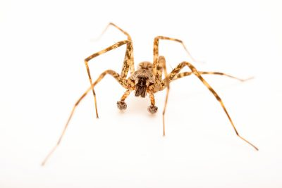 Photo: A male dark fishing spider (Dolomedes tenebrosus) from the University of Nebraska-Lincoln.
