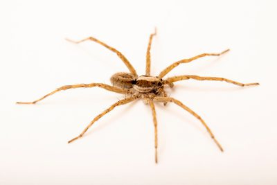 Photo: A male wolf spider (Schizocosa chiracahua) from the University of Nebraska-Lincoln.