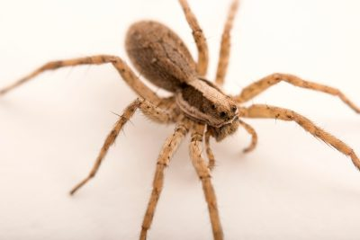 Photo: A female wolf spider (Schizocosa chiracahua) from the University of Nebraska-Lincoln.
