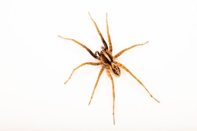 Photo: A male wolf spider (Schizocosa communis) from the University of Nebraska-Lincoln.