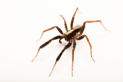 Photo: A male Brush-legged wolf spider (Schizocosa ocreata) from the University of Nebraska-Lincoln.