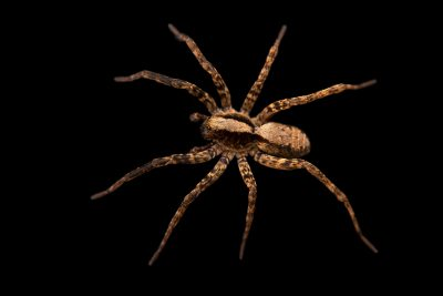 Photo: A female Brush-legged wolf spider (Schizocosa ocreata) from the University of Nebraska-Lincoln.