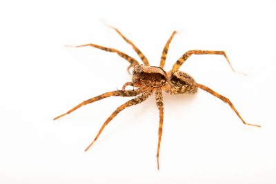Photo: A female wolf spider (Schizocosa tristani) from the University of Nebraska-Lincoln.