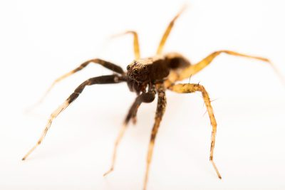 Photo: A male wolf spider (Schizocosa tristani) from the University of Nebraska-Lincoln.