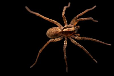 Photo: A female wolf spider (Schizocosa crassipes) from the University of Nebraska-Lincoln.