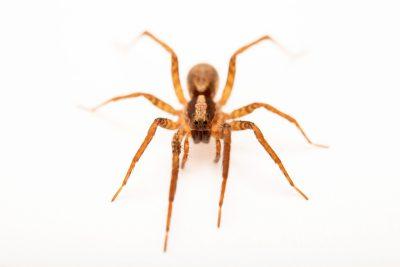 Photo: A female wolf spider (Schizocosa crassipes) from the University of Nebraska-Lincoln.
