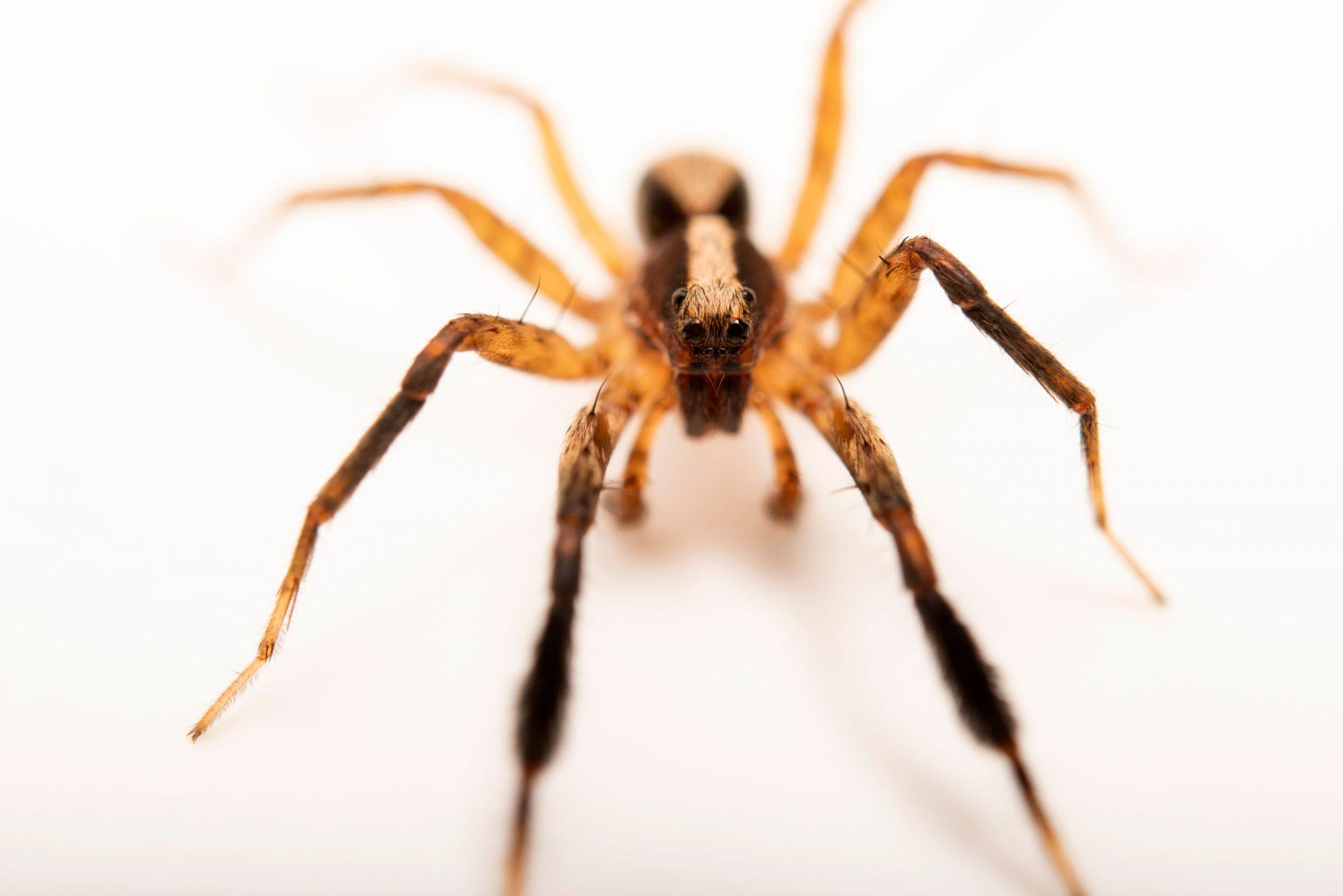 Photo: A male wolf spider (Schizocosa crassipes) from the University of Nebraska-Lincoln.