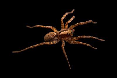 Photo: A female wolf spider (Schizocosa stridulans) from the University of Nebraska-Lincoln.