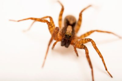 Photo: A female wolf spider (Schizocosa stridulans) from the University of Nebraska-Lincoln.