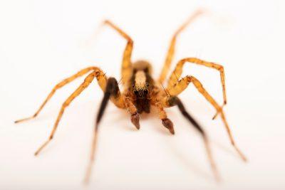 Photo: A male wolf spider (Schizocosa stridulans) from the University of Nebraska-Lincoln.