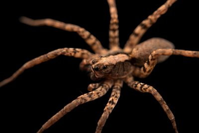 Photo: A female wolf spider (Schizocosa retrorsa) from the University of Nebraska-Lincoln.