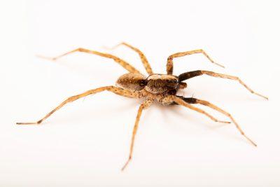Photo: A male wolf spider (Schizocosa retrorsa) from the University of Nebraska-Lincoln.