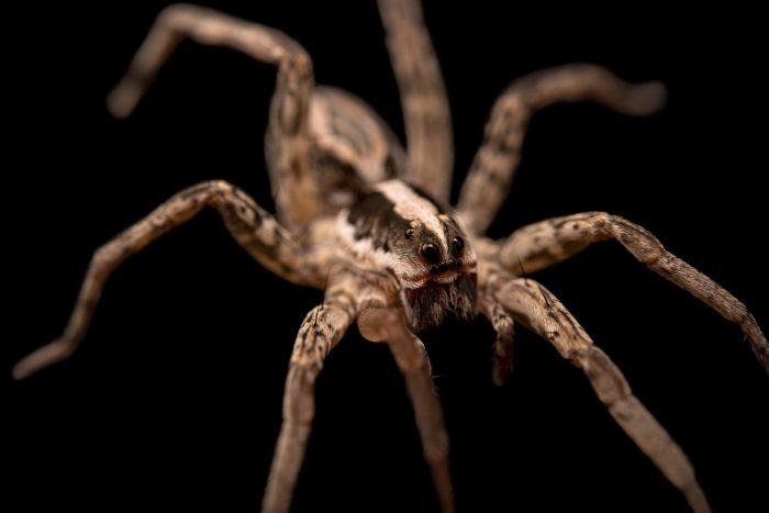 Photo: A female wolf spider (Schizocosa aulonia) from the University of Nebraska-Lincoln.