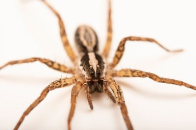 Photo: A female wolf spider (Schizocosa aulonia) from the University of Nebraska-Lincoln.