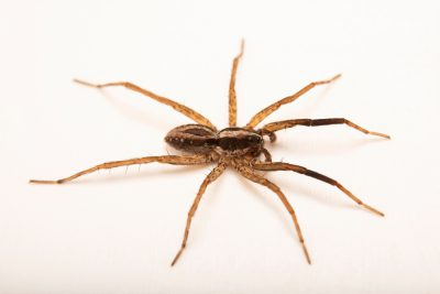Photo: A male wolf spider (Schizocosa aulonia) from the University of Nebraska-Lincoln.