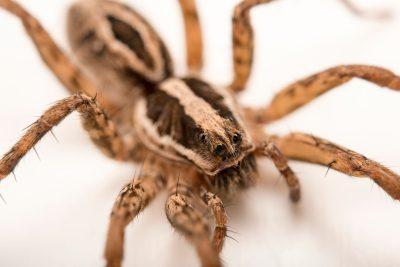 Photo: A female wolf spider (Schizocosa maxima) from the University of Nebraska-Lincoln.