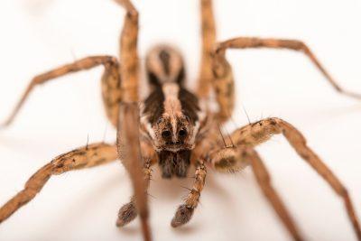 Photo: A male wolf spider (Schizocosa maxima) from the University of Nebraska-Lincoln.