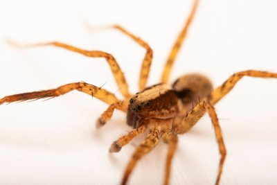 Photo: A male wolf spider (Schizocosa uetzi) from the University of Nebraska-Lincoln.