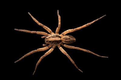 Photo: A female wolf spider (Schizocosa avida) from the University of Nebraska-Lincoln.