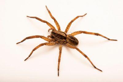 Photo: A female wolf spider (Schizocosa avida) from the University of Nebraska-Lincoln.