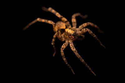 Photo: A female wolf spider (Schizocosa floridana) from the University of Nebraska-Lincoln.
