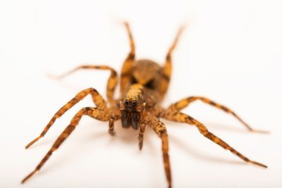 Photo: A female wolf spider (Schizocosa floridana) from the University of Nebraska-Lincoln.