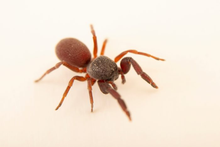 A spider-hunting spider (Palpimanus gibbulus) at Graham's Quinta dos Malvedos Vineyard.