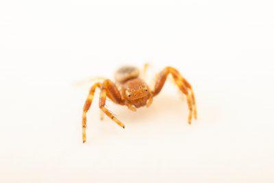 Photo: Crab spider (Synema globosum) at Graham's Quinta dos Malvedos Vineyard.