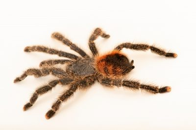 Photo: An undescribed species of pink toe tarantula (Avicularia variegata amazonica) at the Moscow Zoo.