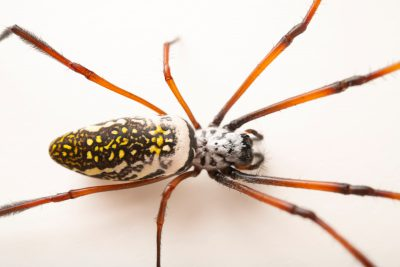 Photo: A golden silk orb weaver (Nephila inaurata madagascariensis) at the Moscow Zoo.