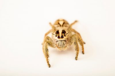 Photo: Jumping spider (Hyllus diardi) at the Moscow Zoo.