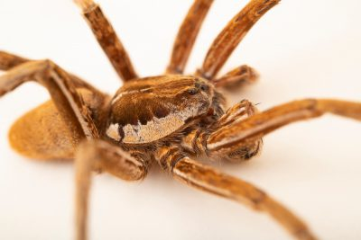 Photo: A male fishing spider (Ancylometes bogotensis) at the Moscow Zoo.