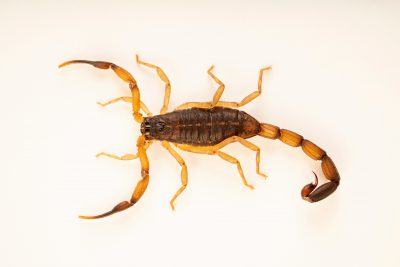 Photo: Bark scorpion (Centruroides margaritatus) at the Moscow Zoo.