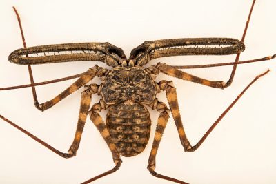 Photo: Tanzanian whip scorpion (Damon variegatus) at the Moscow Zoo.