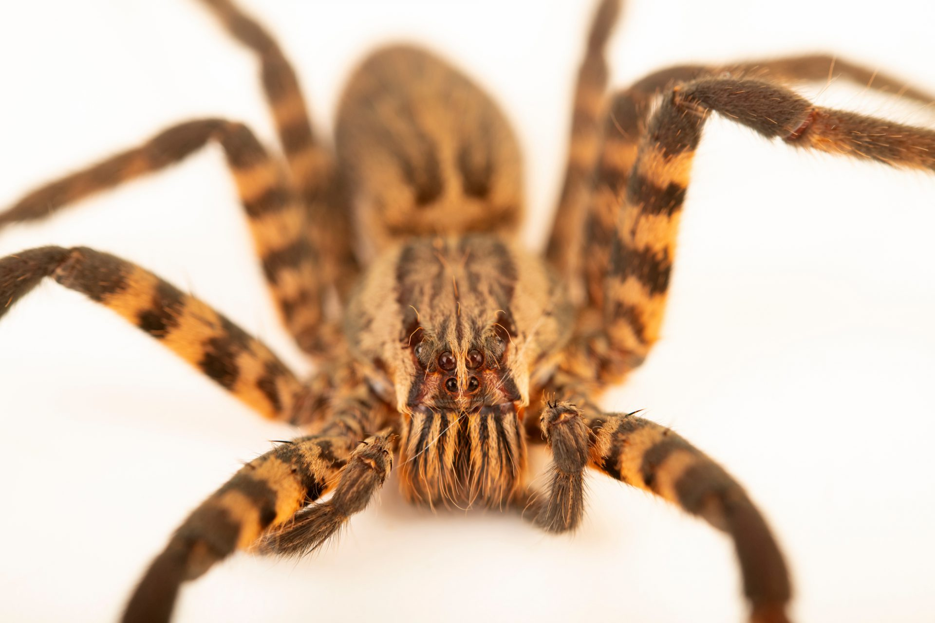 Photo: Tiger wandering spider (Cupiennius salei) at the Moscow Zoo.