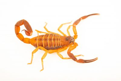 Photo: Red desert scorpion (Babycurus gigas) at the Moscow Zoo.
