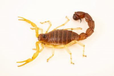 Photo: Burrowing thick-tailed scorpion (Parabuthus schlechteri) at the Moscow Zoo.