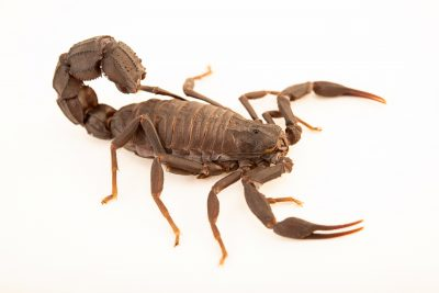 Photo: Mauritanian scorpion (Androctonus mauritanicus) at the Moscow Zoo.