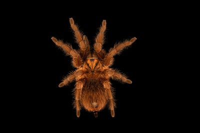 Photo: Haitian brown tarantula (Phormictopus atrichomatus) at the Toronto Zoo.