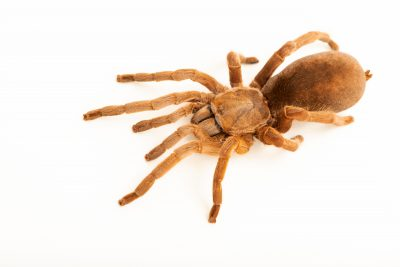 Photo: Featherleg spider (Selenotypus plumipes) at the Toronto Zoo.