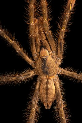 Photo: An endangered ivory billed ornamental tarantula (Poecilotheria subfusca) at the Toronto Zoo.